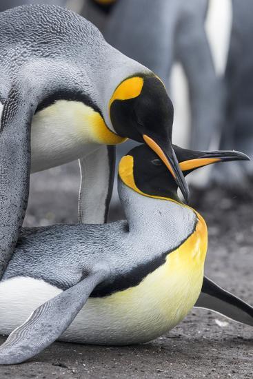 King Penguin, Falkland Islands, South Atlantic. Mating-Martin Zwick-Photographic Print