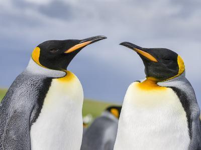 King Penguin, Falkland Islands, South Atlantic-Martin Zwick-Photographic Print