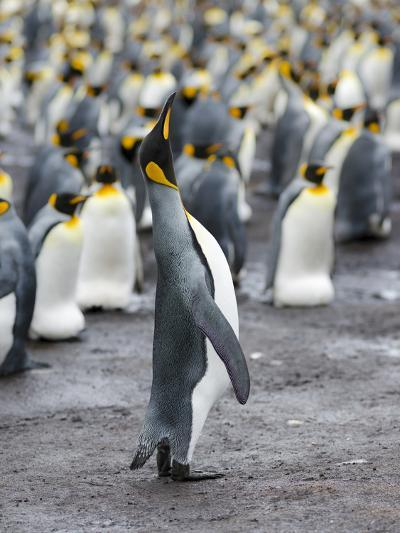 King Penguin, Falkland Islands, South Atlantic-Martin Zwick-Photographic Print