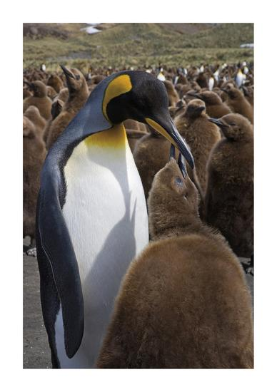 King Penguin Feeding Chick-Donald Paulson-Giclee Print