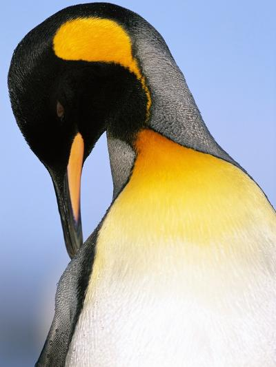 King Penguin Grooming Itself-Paul Souders-Photographic Print