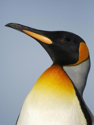 King Penguin Head (Aptenodytes Patagonicus)-Solvin Zankl-Photographic Print