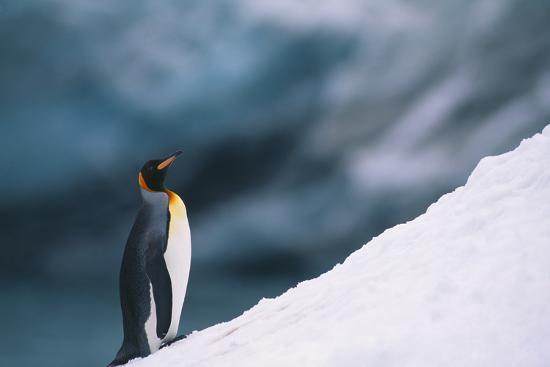 King Penguin on Snow-DLILLC-Photographic Print