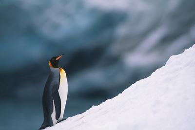 https://imgc.artprintimages.com/img/print/king-penguin-on-snow_u-l-pzrgu80.jpg?p=0