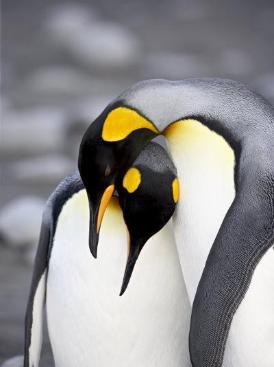 King Penguin Pair Pre-Mating Behaviour, Salisbury Plain, South Georgia-James Hager-Photographic Print