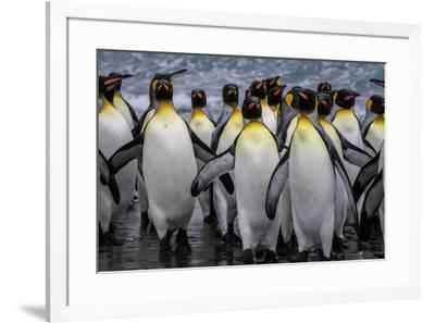 King penguin rookery at Salisbury Plain, South Georgia Islands.-Tom Norring-Framed Photographic Print