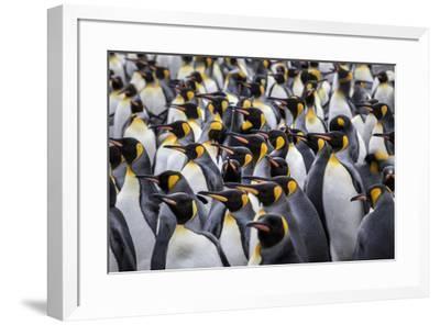 King penguin rookery at Salisbury Plain. South Georgia Islands.-Tom Norring-Framed Photographic Print