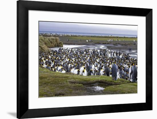 King penguin rookery at Salisbury Plain. South Georgia Islands.-Tom Norring-Framed Photographic Print