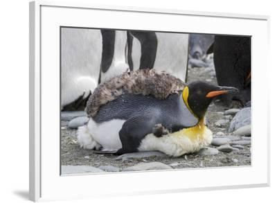 King penguin rookery on Gold Harbor. South Georgia Islands.-Tom Norring-Framed Photographic Print