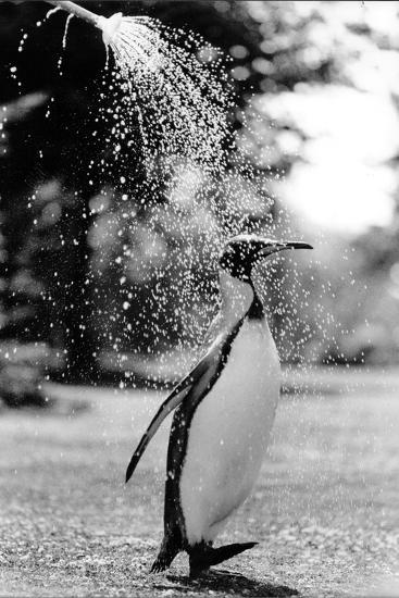 King Penguin Takes a Shower-Associated Newspapers-Photo