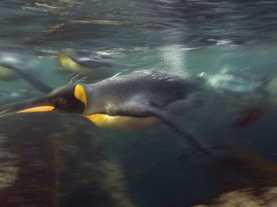 King Penguin, Underwater, Sub Antarctic-Tobias Bernhard-Photographic Print