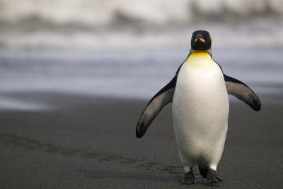 King Penguin Walking on Sand-DLILLC-Photographic Print