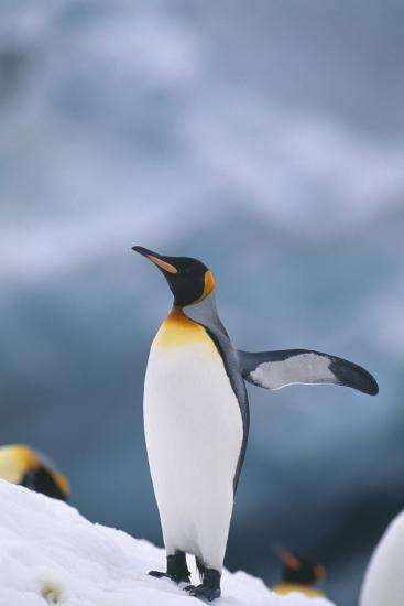 King Penguin with Wing Outstretched-DLILLC-Photographic Print
