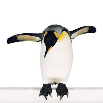 King penguin-Josh Westrich-Photographic Print