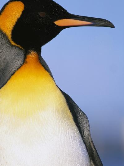 King Penguin-Paul Souders-Photographic Print