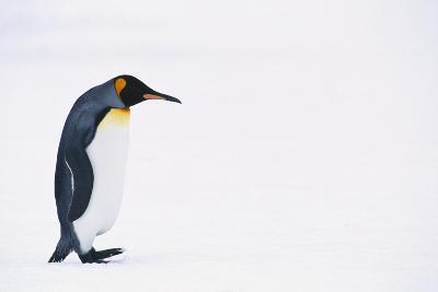 King Penguin-DLILLC-Photographic Print