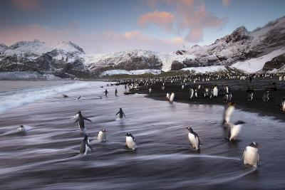 King Penguins Along the Shore at Gold Harbour on South Georgia Island-Michael Melford-Photographic Print