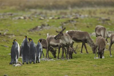 King Penguins, Aptenodytes Patagonicus, Among Grazing Caribou, Rangifer Tarandus-Tim Laman-Photographic Print