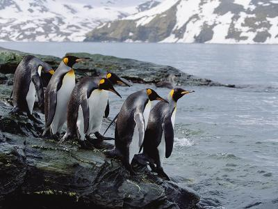 King Penguins (Aptenodytes Patagonicus) Approaching Shoreline, South Georgia Island-Konrad Wothe-Photographic Print