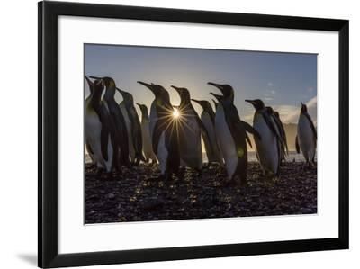 King Penguins (Aptenodytes Patagonicus) at Sunrise, in St. Andrews Bay, South Georgia-Michael Nolan-Framed Photographic Print