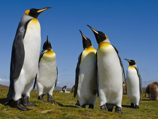 King Penguins, Aptenodytes Patagonicus, Falkland Islands-Frans Lanting-Photographic Print