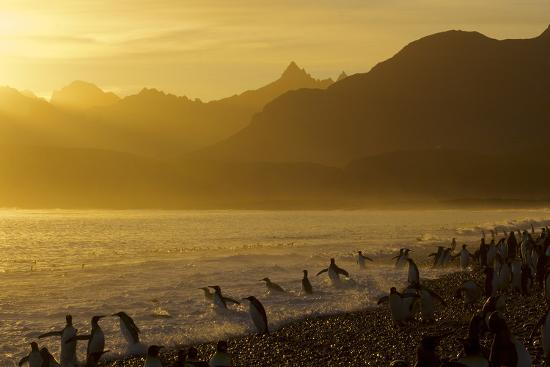 King Penguins (Aptenodytes Patagonicus) On Beach At Sunrise, South Georgia Island, March-Russell Laman-Photographic Print