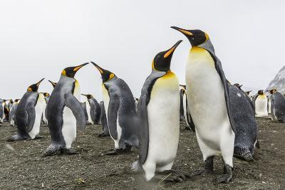 King Penguins (Aptenodytes Patagonicus) on the Beach at Gold Harbour, South Georgia, Polar Regions-Michael Nolan-Photographic Print
