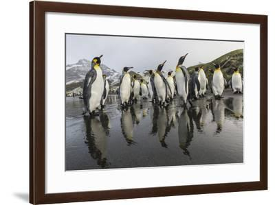 King Penguins (Aptenodytes Patagonicus) on the Beach at Gold Harbour, South Georgia, Polar Regions-Michael Nolan-Framed Photographic Print