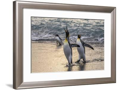 King Penguins (Aptenodytes Patagonicus) Returning from the Sea at Gold Harbour, Polar Regions-Michael Nolan-Framed Photographic Print