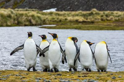 King Penguins (Aptenodytes Patagonicus)-Michael Nolan-Photographic Print