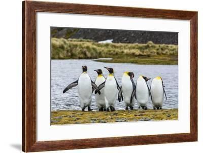 King Penguins (Aptenodytes Patagonicus)-Michael Nolan-Framed Photographic Print