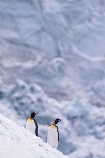 King Penguins Climbing Snow Hill-DLILLC-Photographic Print