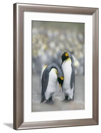 King Penguins Courting-DLILLC-Framed Photographic Print