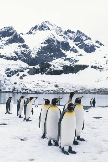 King Penguins Forming a Line-DLILLC-Photographic Print