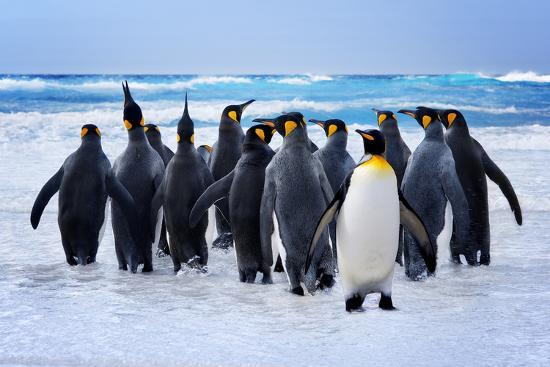 King Penguins Heading to the Water in the Falkland Islands-kwest-Photographic Print