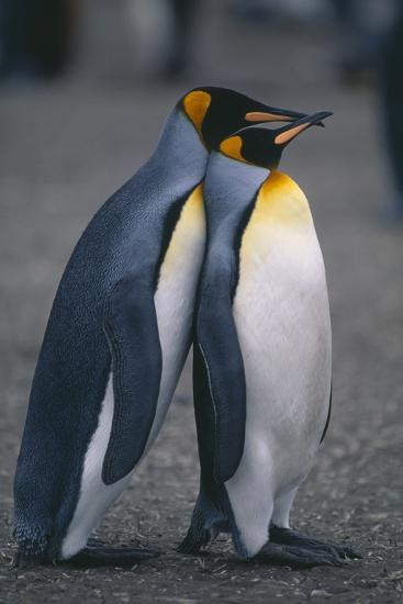 King Penguins Leaning on Each Other-DLILLC-Photographic Print