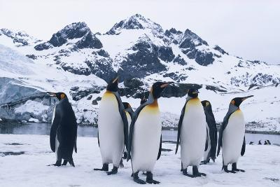 King Penguins Looking in All Directions-DLILLC-Photographic Print