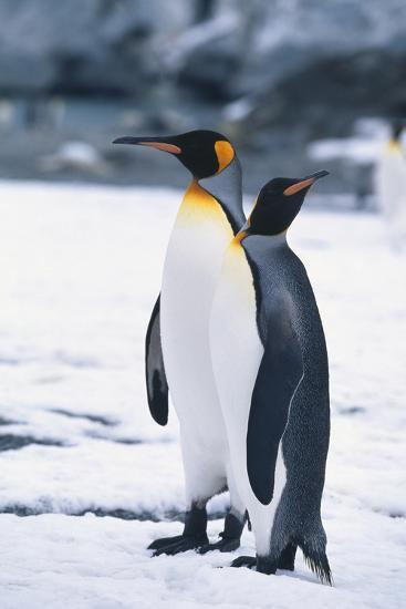 King Penguins Looking in Different Directions-DLILLC-Photographic Print