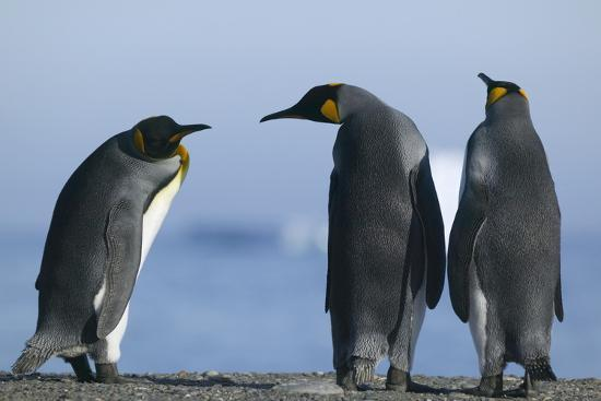 King Penguins on Rocky Beach-DLILLC-Photographic Print