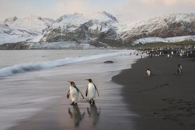 King Penguins on the Beach at Gold Harbour on South Georgia Island-Michael Melford-Photographic Print