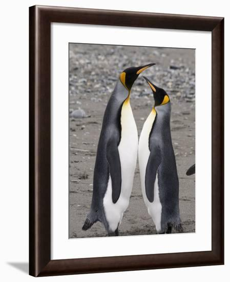 King Penguins, St. Andrews Bay, South Georgia, South Atlantic-Robert Harding-Framed Photographic Print