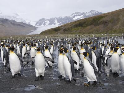 King Penguins, St. Andrews Bay, South Georgia, South Atlantic-Robert Harding-Photographic Print