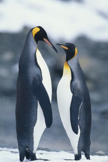 King Penguins Standing Belly to Belly-DLILLC-Photographic Print