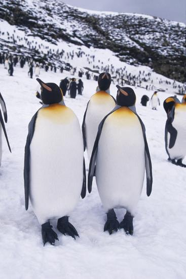 King Penguins Standing in Snow-DLILLC-Photographic Print