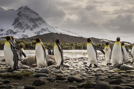 King Penguins Stroll Past an Elephant Seal, Mirounga Angustirostris-Doug Gimesy-Photographic Print