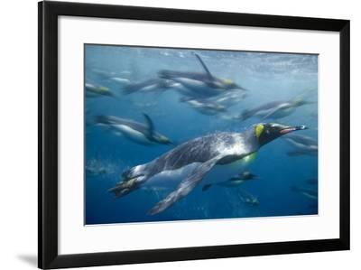 King Penguins Swimming-DLILLC-Framed Photographic Print