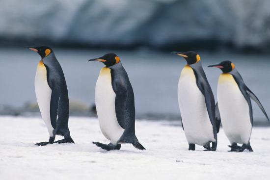 King Penguins Taking a Walk-DLILLC-Photographic Print