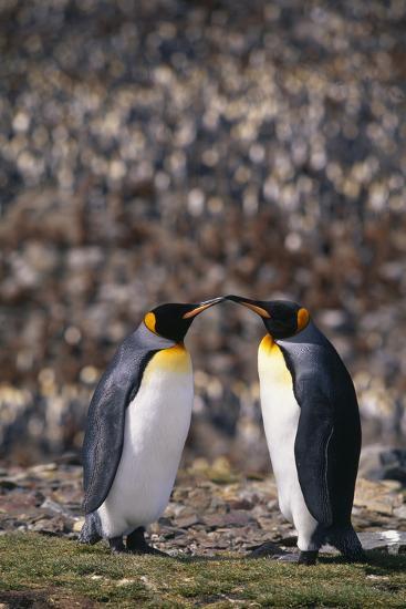 King Penguins Touching Beaks-DLILLC-Photographic Print
