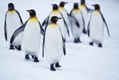 King Penguins Walking in Snow-DLILLC-Photographic Print