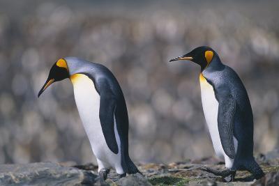 King Penguins Walking on Rocks-DLILLC-Photographic Print
